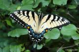 E. Tiger Swallowtail Butterfly