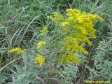 Missouri goldenrod