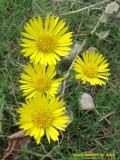Wax goldenweed