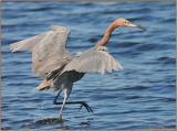 Reddish Egret  Feeding4