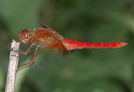 Neon Skimmer - Libellula croceipennis
