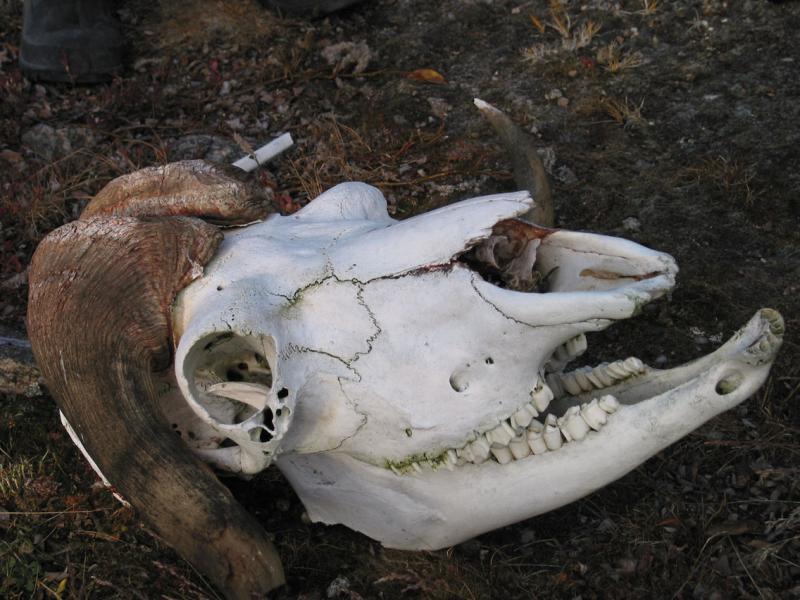 Bone Musk Ox head