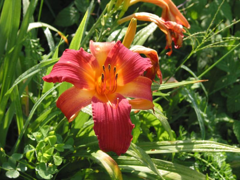 This color daylilly is electric!
