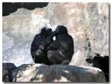 Affectionate Chimps