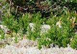 Lichen Forest 0826.jpg