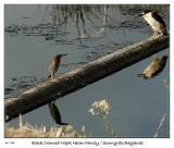 Face-off between Green Heron and  Black Crowned Night Heron