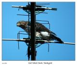 Red Tailed Hawk visits the yard
