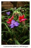 Fuchsia and Pine Spiderwort