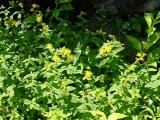 Hypericum prolificum