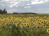A Sunflower Day in Merigomish ~ Nova Scotia