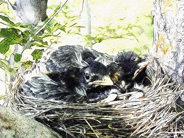 baby robins colored pencil.jpg