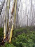 Snowgum mist1
