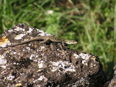 Lizards everywhere