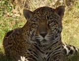 Fort Worth Zoo Jaguar4.jpg