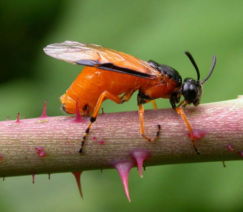 Arge ochropa -- sawfly ovipositing into cuts made in rose stem