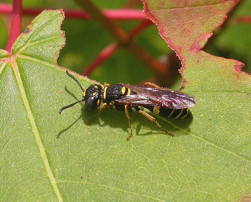 a bee wolf wasp in the genus Philanthus, family Sphecidae.