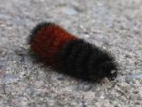 Woolly bear caterpillar crossing pathway