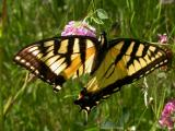 Tiger Swallowtail -- view 1 -- Charleston Lake
