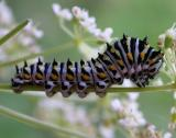 4th instar of a Black Swallowtail --  Papilio polyxenes