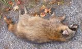 dead raccoon