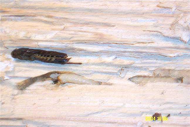 horntail-2.jpg