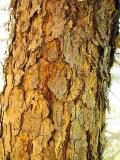 Pine Tree Trunk *