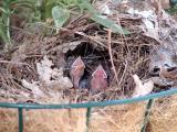 nestlings 3