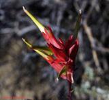 Sage Brush Flower