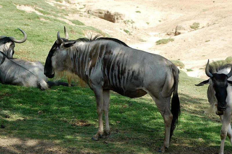 Eastern White-Bearded Gnu (Wildebeest)