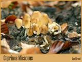 Coprinus Micaceus - October 07-04