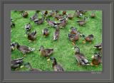 duck army.jpg