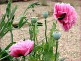 Pink poppies self sown in a friend's garden