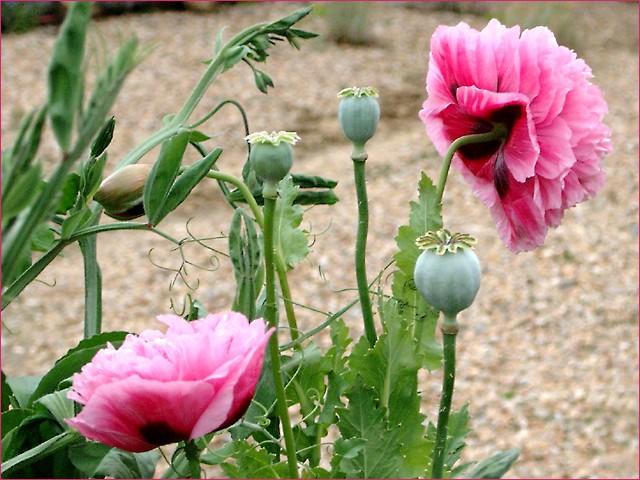 Pink poppies self sown in a friends garden