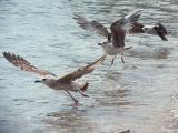 Seagulls (galebovi)