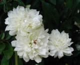 White Banksia blooms