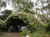 Cecile Brunner rose bower