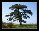 The old cedar tree, Martock (2175)