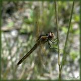 needham's skimmer - female