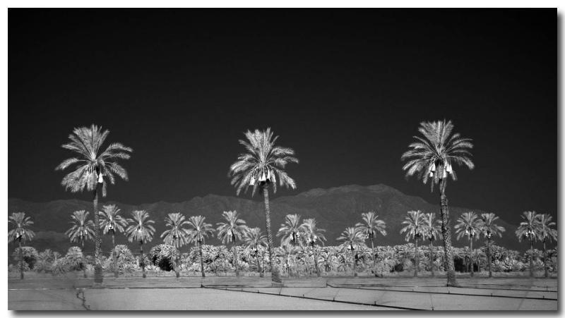Date palms (IR)