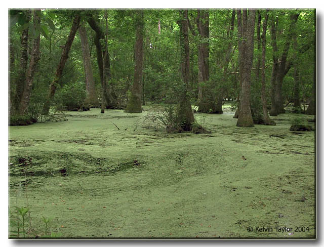 A Green Swamp in NC