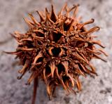 Sweetgum Seedpod