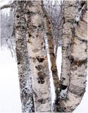 Tree bark after snow storm