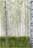 Aspen Forest - Finland