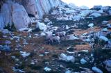 Bighorn Sheep about 150' above our camp