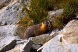Marmot basking in the sun
