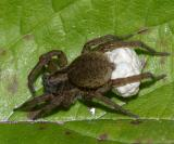 Trochosa sp. Wolf spider - protecting her eggs