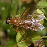 Ptecticus trivittatus