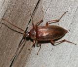 Capnochroa fuliginosa