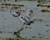 Little Blue Heron Landing