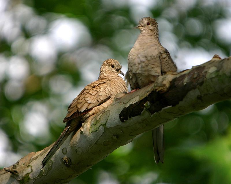 Two Inca Doves